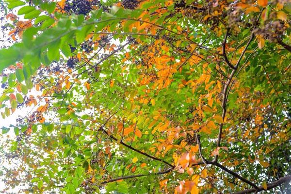 黄连木多少钱一棵?黄连木为什么能成为园林新宠?