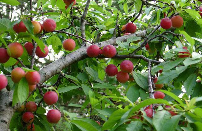 李子树种植方法