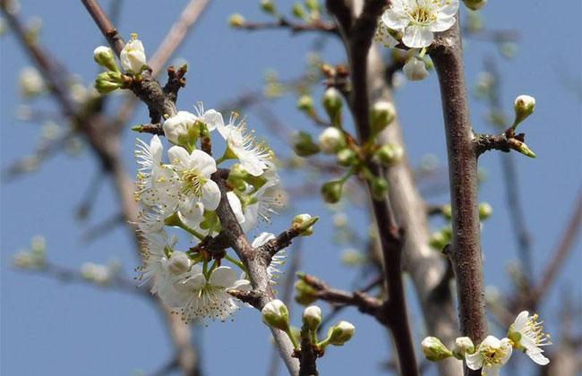 李子树开花期能打药吗?