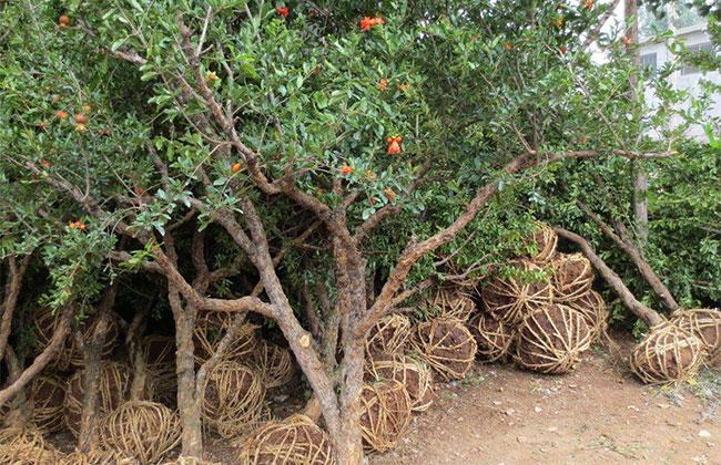 甘肃庆阳:苗木产业带动群众增收