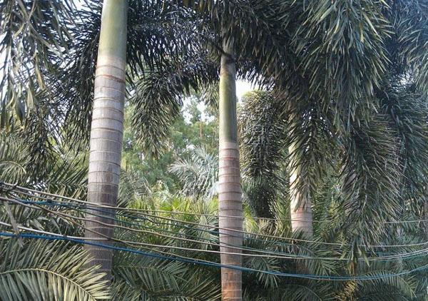 狐尾椰子冬季防冻方法