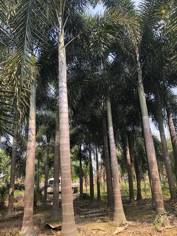 海南狐尾椰子树怎样栽培?