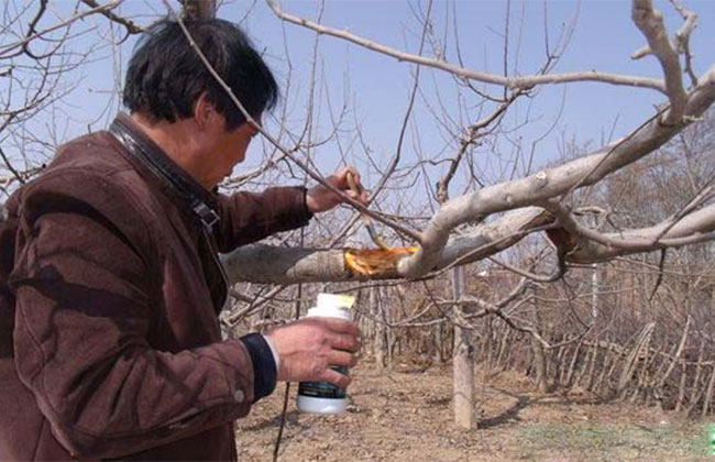 桃树伤口有什么危害?保护剂该如何调配?
