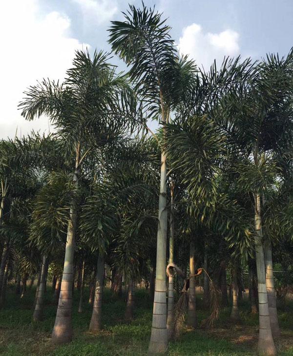 狐尾椰子种植方法
