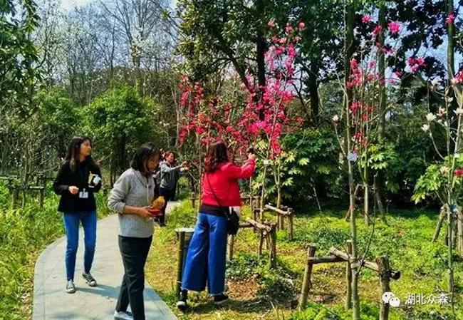 """""""娇红1号""""红花玉兰,国内新品种,首现上海植物园"""