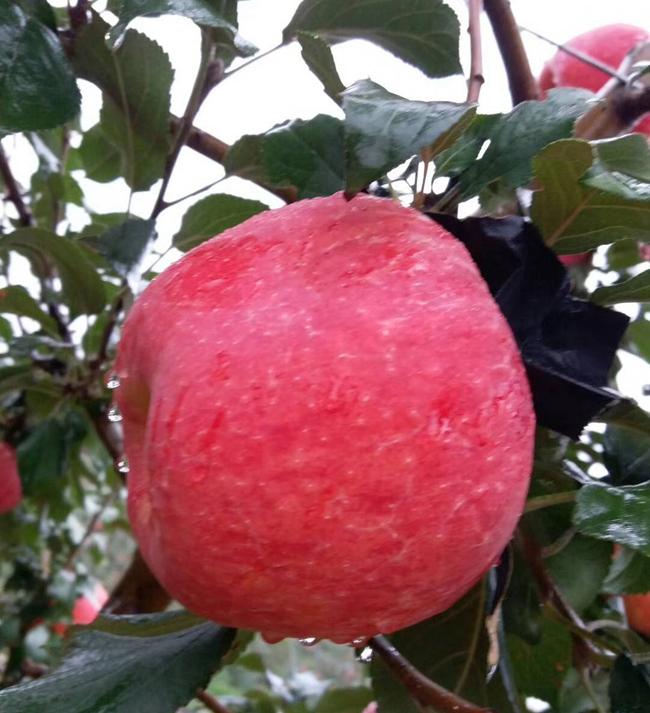苹果新品种在西北农科大研发成功