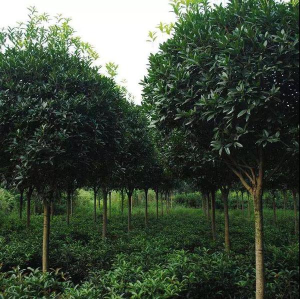 江苏博耀园林的绿化工程苗,质量就是这么硬!