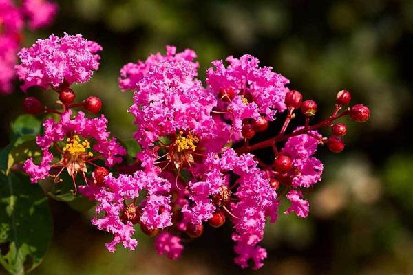 紫薇树春季管理方法