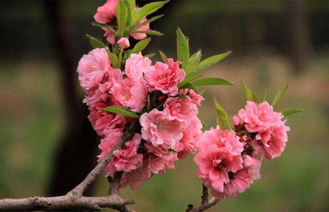 新疆和硕花卉产业开启致富路