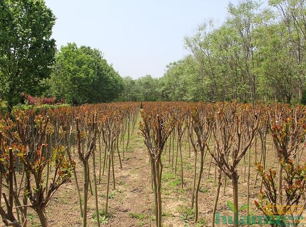 花木网企业千家行活动走进鄢陵绿地花卉苗圃