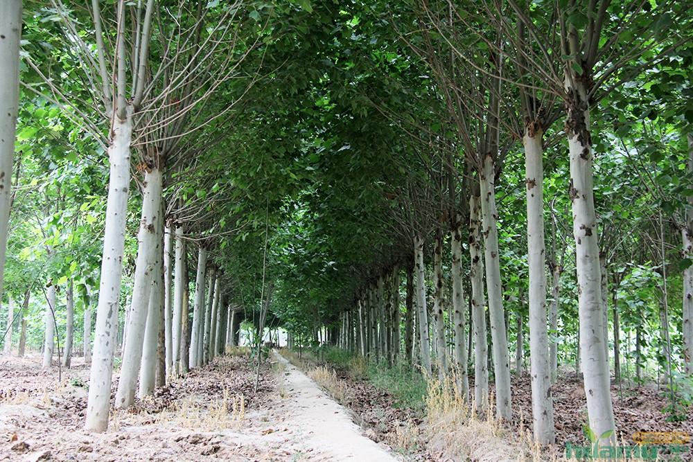 鼎盛园林苗木基地