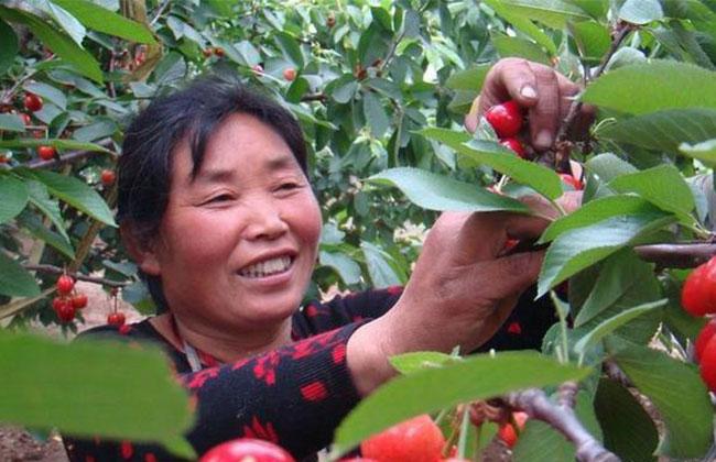 樱桃落花落果如何预防?