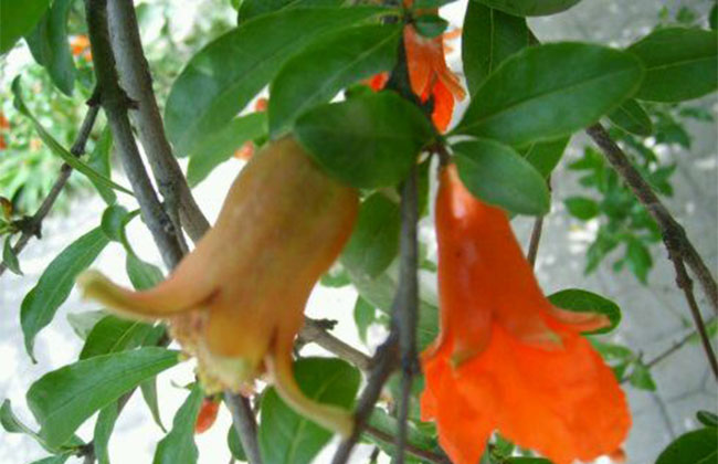 石榴树雌雄花怎么分辨?