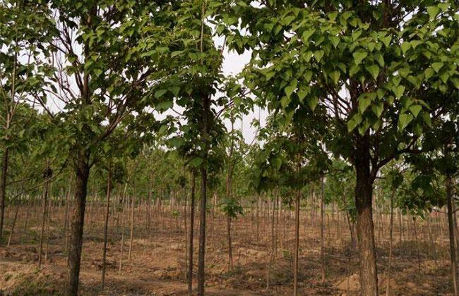 北京平原绿化带动梓树行情发展