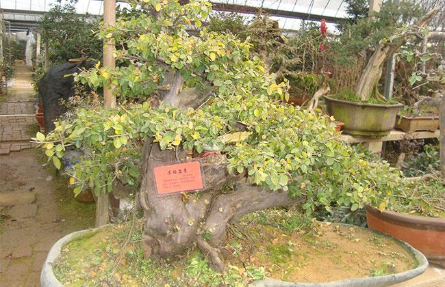 湖北襄阳小型树木盆景行情好