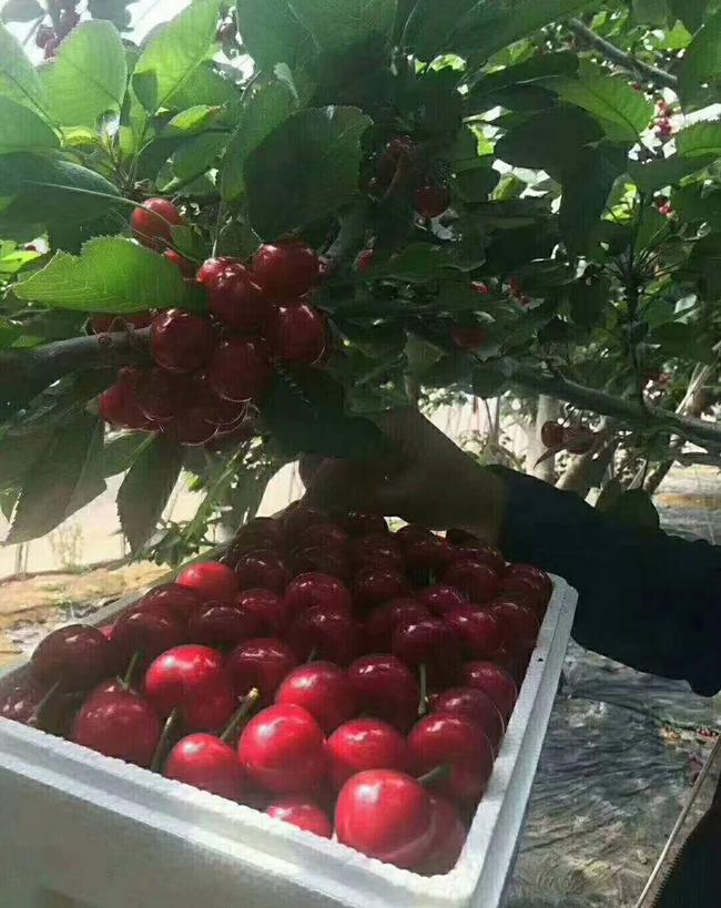 布鲁克斯樱桃的种植前景