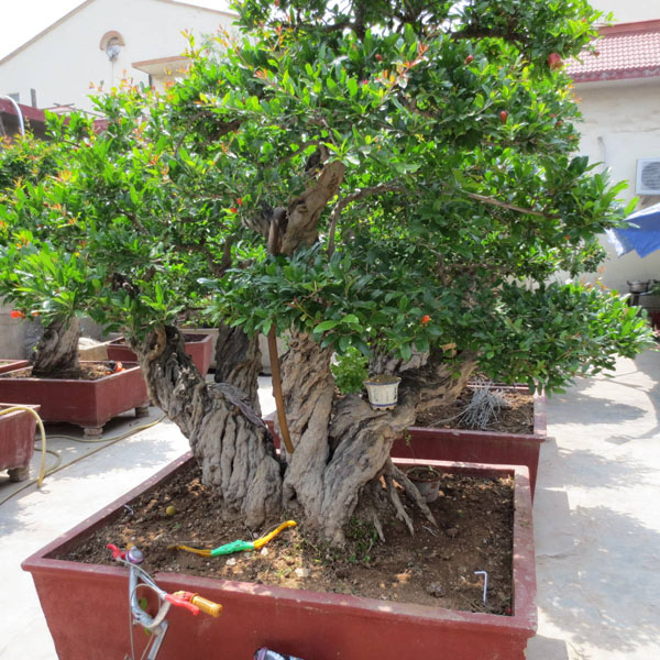 盆栽石榴树修剪方法