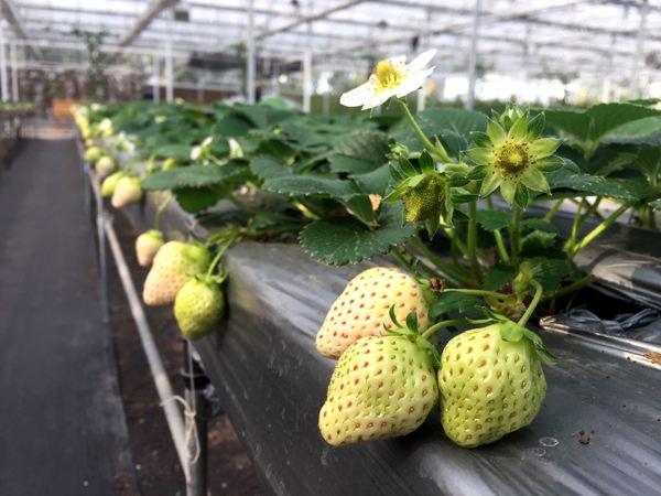 白草莓价格多少钱一斤?