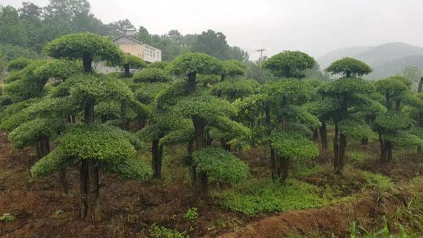 这几种园林景观树前景广阔