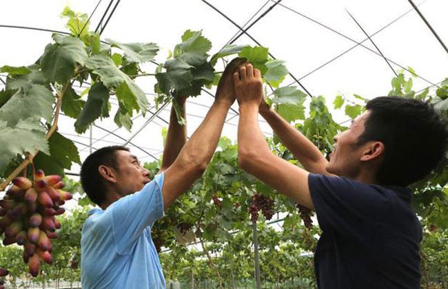资深专家:南方葡萄建园的技术和方法