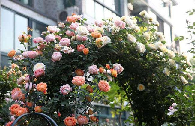 月季拱门造型制作方法,适做花拱门的月季品种有哪些?