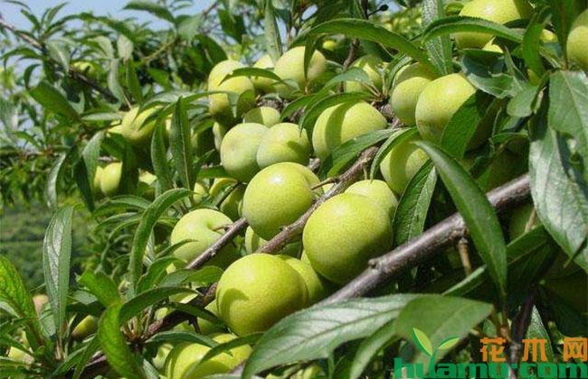 打药可以提高李子树坐果率?