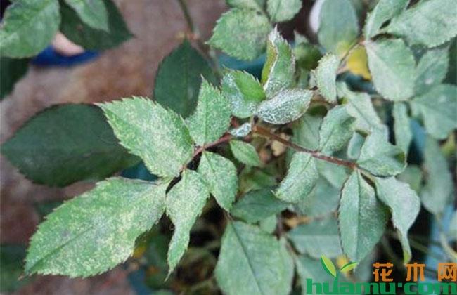 苗木植物常见病害,夏季不预防会后悔