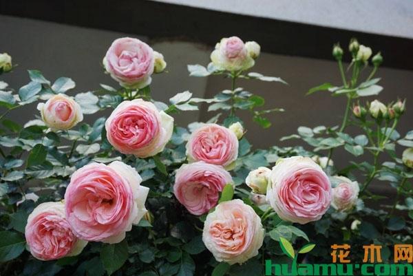 粉色龙沙宝石月季的爆花方法