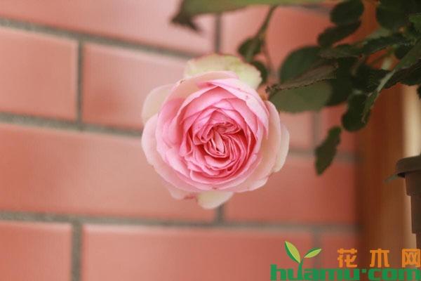 粉色龙沙宝石月季怎么养?