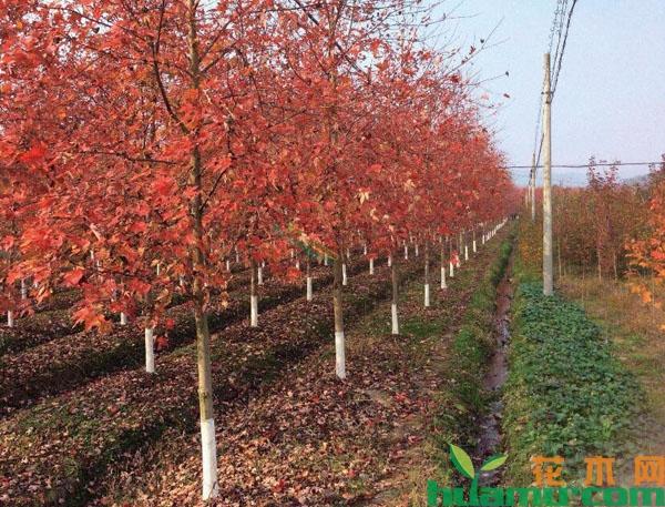 美国红枫常见病害防治
