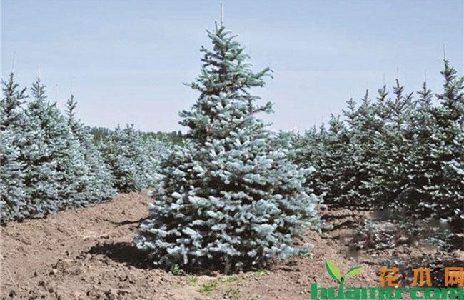 精品彩叶苗木如何发展?