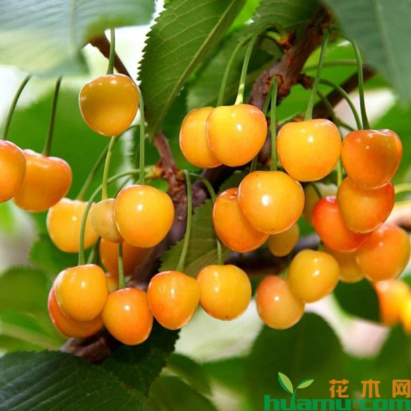 黄蜜大樱桃的特点.jpg