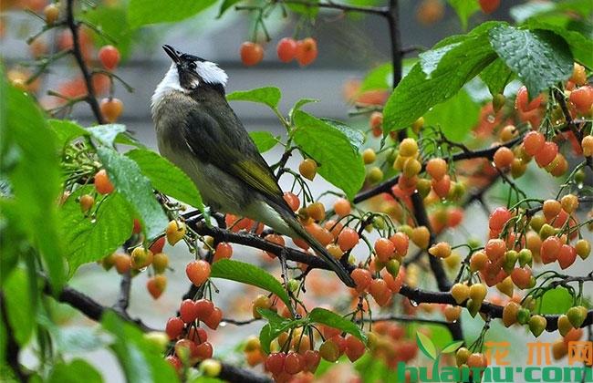 樱桃果实总是被鸟吃怎么办?成熟期樱桃怎么保护?