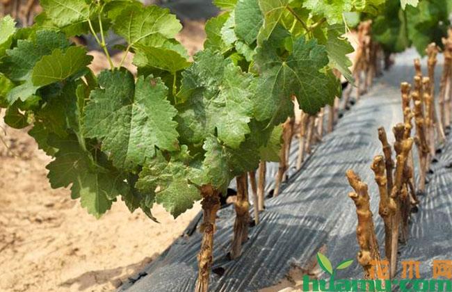 夏季葡萄管理技術,直接影響開花坐果