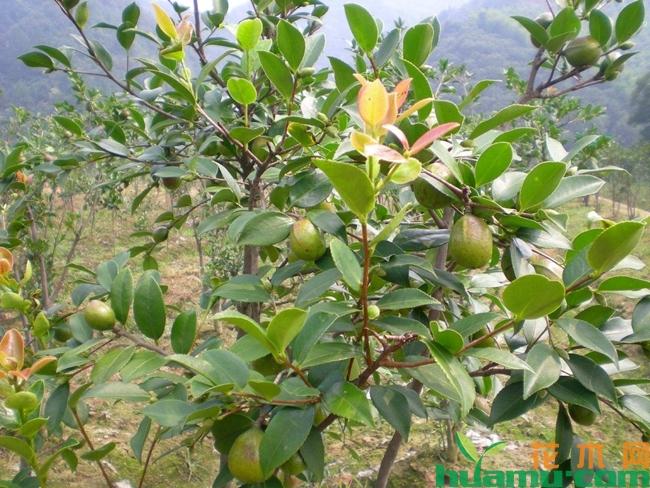 油茶树种植技术