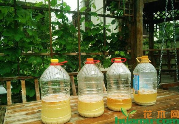 怎样用淘米水浇月季花?