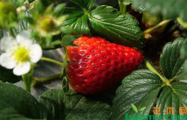 种植大棚草莓多久替换一次苗?