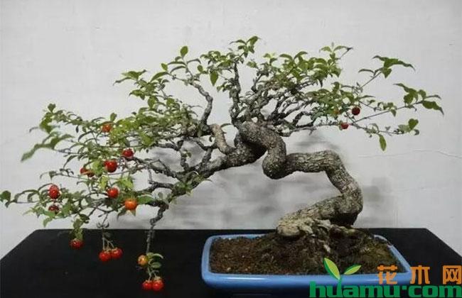 盆栽车厘子种植技术,矮化怎么做?