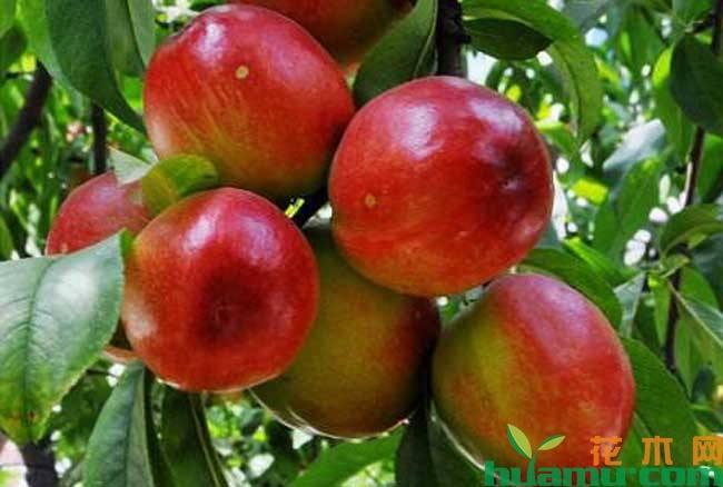 油桃种植与管理技术