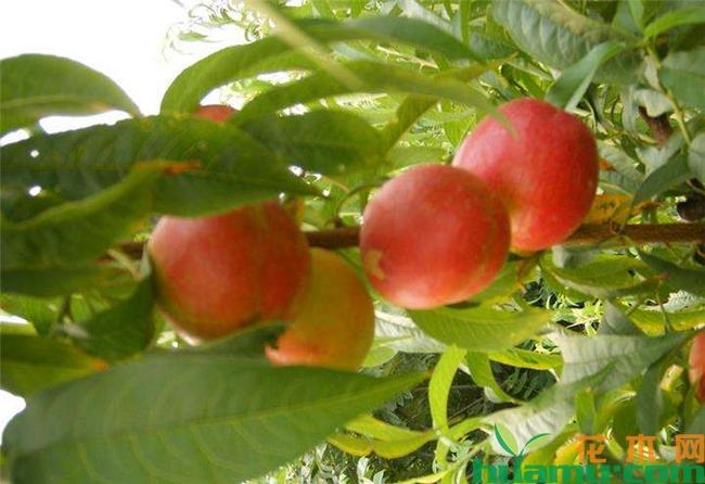 油桃多少钱一斤-6元一斤.jpg