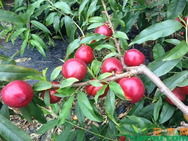 油桃价格多少钱一斤-果园批发8元一斤.jpg