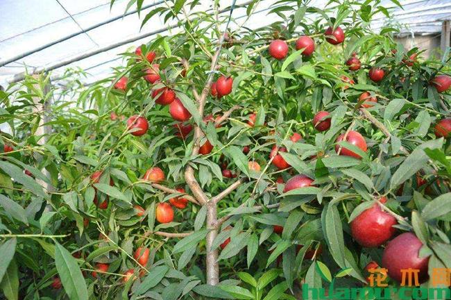 油桃品种有哪些