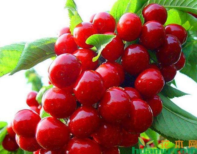 樱桃品种美早对比俄八种植哪个比较好?