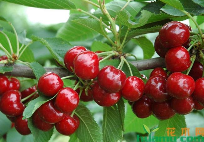 特大早熟樱桃品种