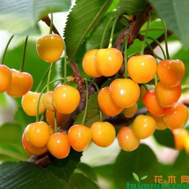 黄蜜大樱桃的缺点有哪些