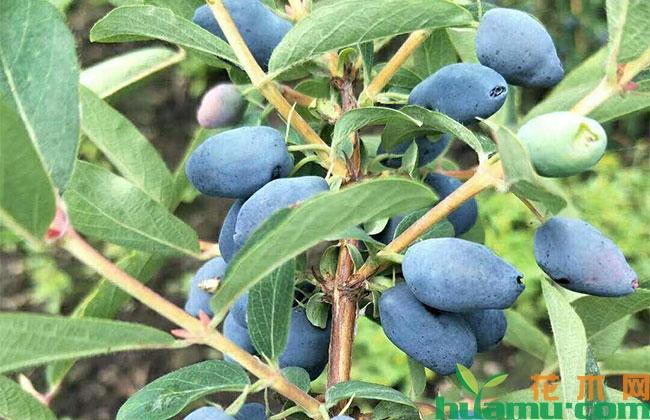 蓝靛果种植前景怎样?养护管理技术有哪些?