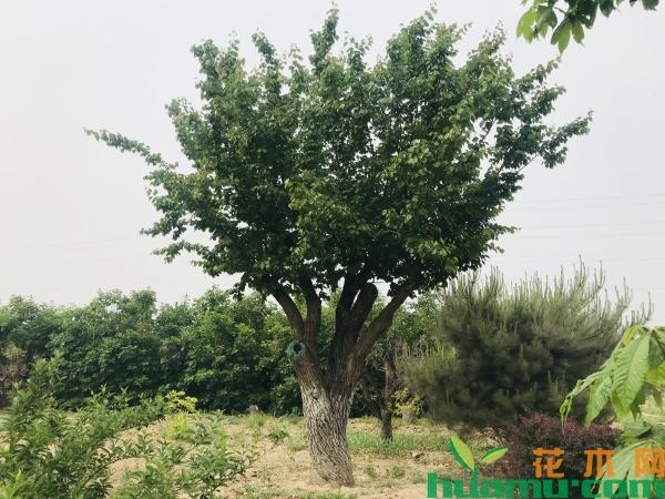 苗乡行北京线:心灵震撼的北京乡土苗木