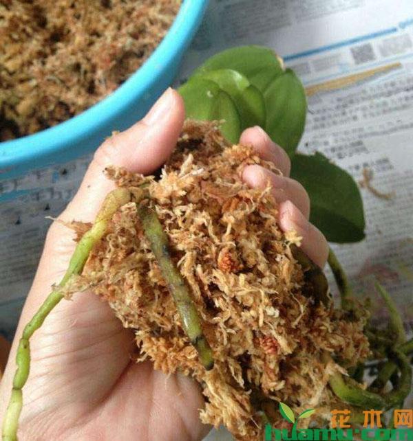 蝴蝶兰半水培方法