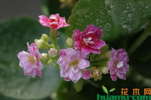 长寿花怎么养开花多?
