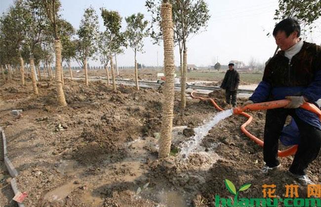 夏季苗木养护技术要点
